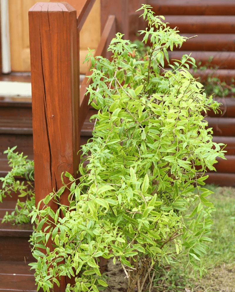 צמחי מרפא ותוספי מזון